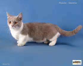 munchkin cats munchkin information health pictures pet paw