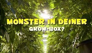 Grow Belüftung Berechnen : zu gro e cannabispflanzen in der growbox und was man ~ Themetempest.com Abrechnung