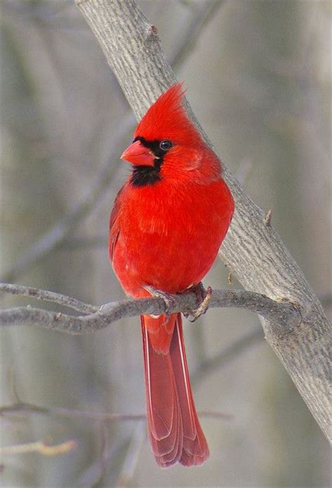 male cardinal i saw in nashville tn winter 2013 2014 not