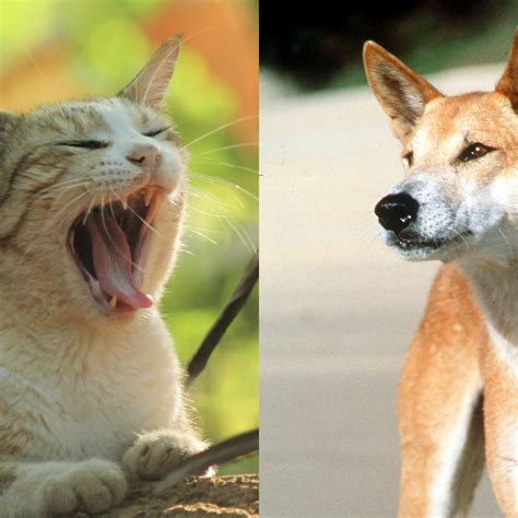 cats scared dingoes must another way