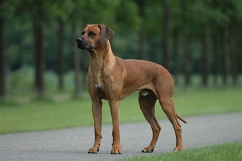 Rhodesian Ridgeback Puppies For Sale From Reputable Dog