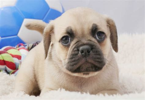 Puggle Puppies For Sale Chevromist Kennels Puppies