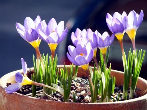 plant crocus in flower pot what to consider when