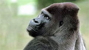 Angry Gorilla Pictures to Pin on Pinterest - PinsDaddy