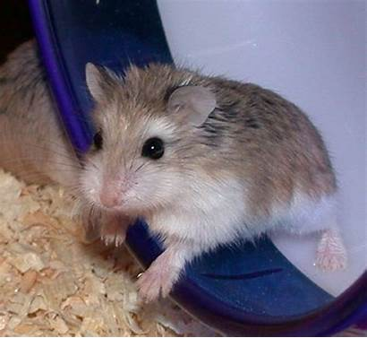 Dwarf Hamster Bedding Need Requirements Seems License