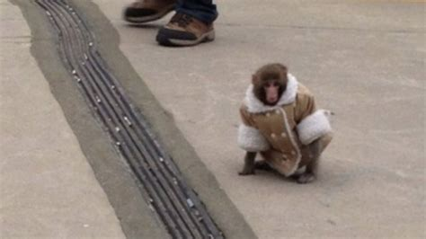 'ikea Monkey' Darwin Will Not Be Returned To Its Owner