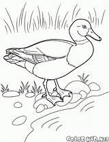 Colorare Disegni Coloring Pato Dibujos Colorear Dibujo Kaczka Flamingo Oat Colorkid Corbeau Malvorlagen Birds Duck Ente Pintar Juegos Anatra Canard sketch template