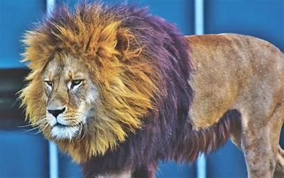 Lion King Predator Beasts 4k Ne Ultra