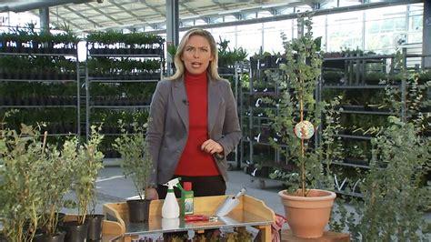 Baldurgarten Winterharter Eukalyptus 'azura®' Youtube