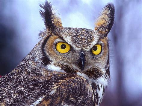 Owl Wallpapers by Wallpaper Bird Wallpapers