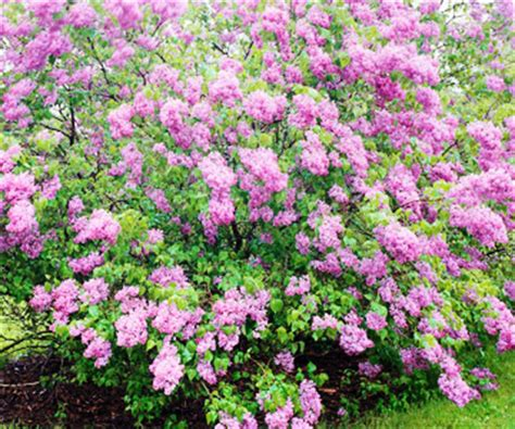 lilacs that bloom all summer of all things lilac on pinterest lilac bushes syringa and primroses