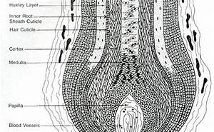 Structure Of The Hair Follicle And Hair