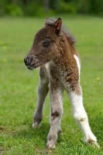 Cute Baby Mini Horses