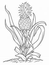 Pineapple Coloring Tree Pages Drawing Fruits Vegetables Printable Pineapples Line Adult Outline Drawings Print Sketch sketch template
