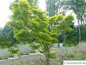 Japanischer Ahorn Standort Sonne : japanischer ahorn acer japonicum ~ Eleganceandgraceweddings.com Haus und Dekorationen