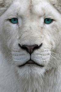 White Lion with Blue Eyes | Lions | Pinterest | Blue eyes ...