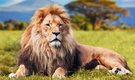 symbolic meaning  lions  lion totem meaning  whats