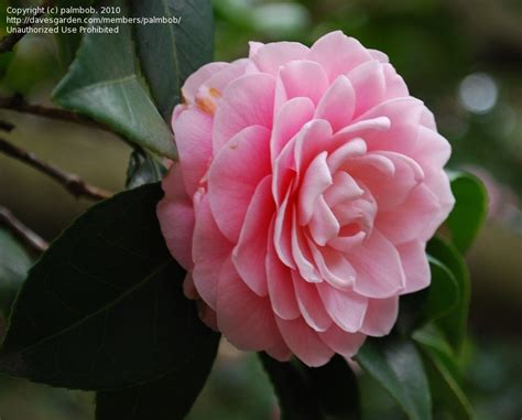 pink perfection camellia camellia pink perfection