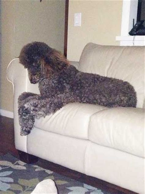 giant brown standard poodles brody fl