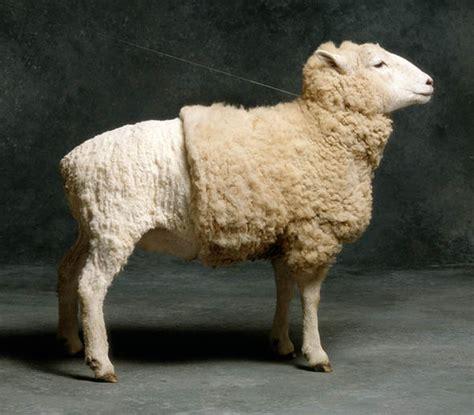 scottish sheep farmers reject peta campaign  ditch