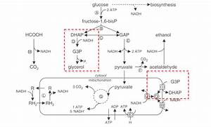 File:Schematic overview of fermentative and oxidative ...