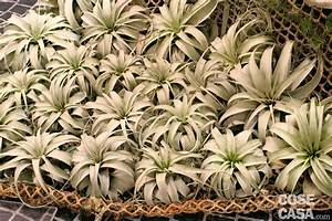 Tillandsia: la pianta senza terra Cose di Casa