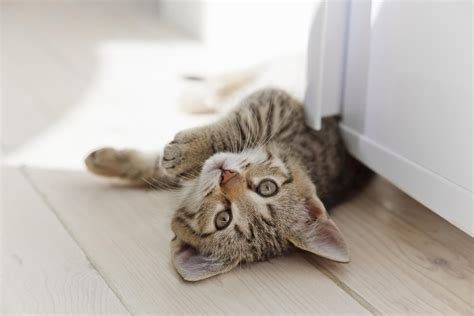 cat urine odor   wood floors