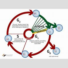 12 Applications And Skills 126 Cell Cycle, Control And The Mitotic Index