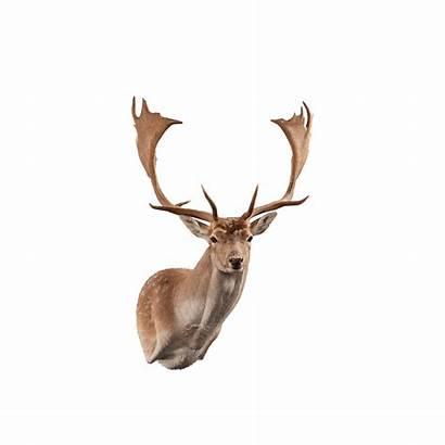 Deer Fallow Mount Shoulder Taxidermy Kanati
