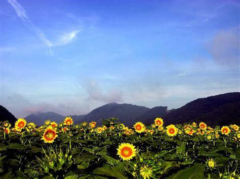 Beautiful Photo beautiful sunflower photos