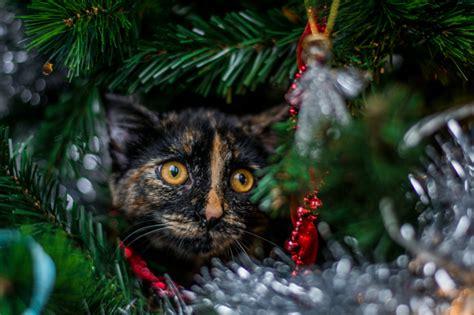 Kaķi, kuri domā, ka viņi ir Ziemassvētku rotājumi - Skats.lv