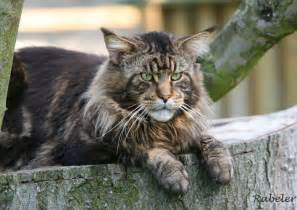 big maine coon cats for maine coon cats