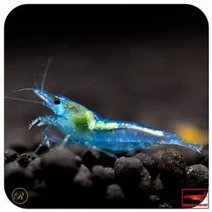Süßwasserfische Fürs Aquarium : 120 besten freshwater inverts bilder auf pinterest ~ Lizthompson.info Haus und Dekorationen