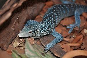 Blue-Spotted Tree Monitor Full HD Wallpaper and Background ...