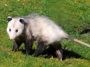opossum design opossum removal in los angeles ca animal capture wildlife