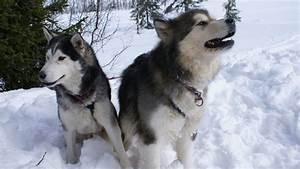 Siberian Husky vs. Alaskan Malamute - Barking Royalty