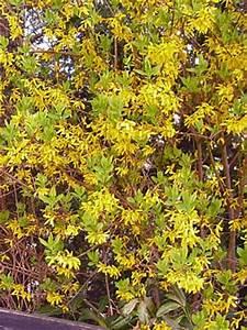 Blühende Stauden Winterhart : bl hende heckenpflanzen als sichtschutz f r den garten ~ Buech-reservation.com Haus und Dekorationen
