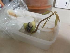 Planter Noyau Mangue : comment faire germer un noyau de mangue au jardin ~ Melissatoandfro.com Idées de Décoration
