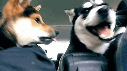 Siberian Husky Lolzpicx Dog Puppies