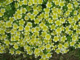 Plante De Bordure : le blogue jardin limnanth s une belle plante de bordure ~ Preciouscoupons.com Idées de Décoration