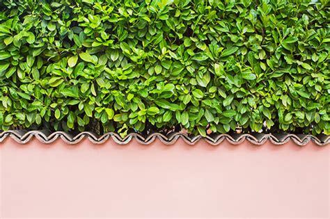 Der Garten Oder Das Garten by Kirschlorbeer Im Garten Pflanzen Oder Besser Nicht Das Haus