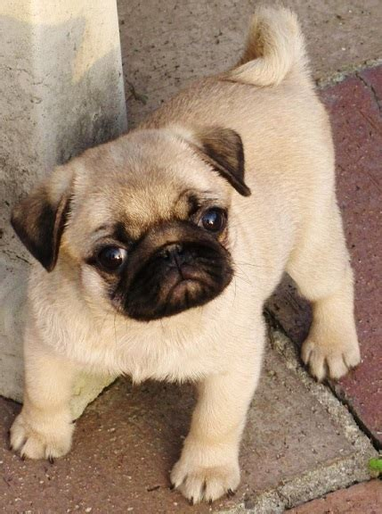 white pugs  sale image search baby litle pups