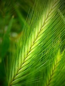 100 Barley Hordeum Vulgare Grain Grass Cover Crop Beer