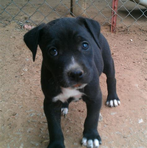 cute puppy dogs black  white pitbull puppies