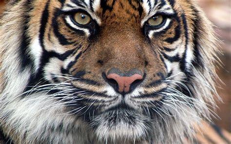 tiger fur wallpaper wallpapersafari