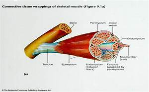 Neuromuscular Anatomy  Physiology  Growth  And