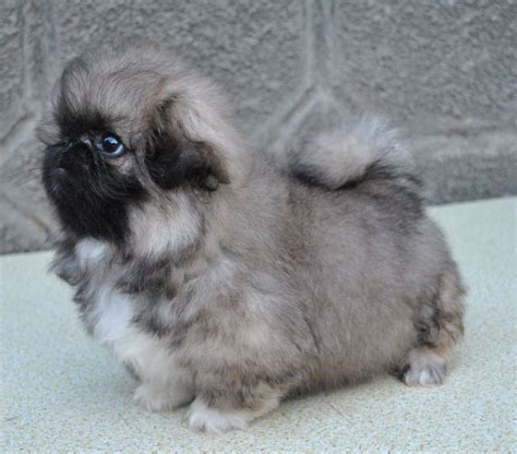 pekingese breed description history  overview
