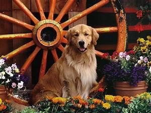 Golden Retriever Dogs Desktop hd Wallpaper | High Quality ...