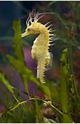 Colorful Real Seahorses
