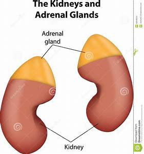 The Kidneys And Adrenal Glands Stock Vector